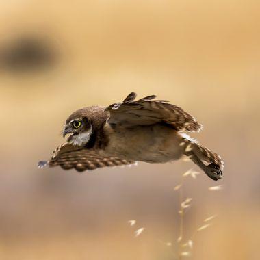 Juvenile Burrowing Owl-0233