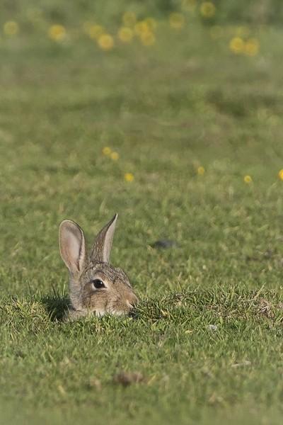 Rabbit popping up
