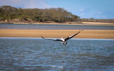 A Pelican takes flight