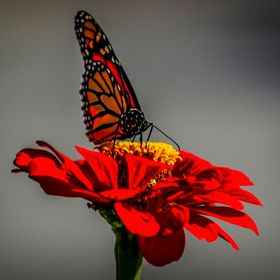 Monarch Butterfly on a Red Zinnia Flower ,,, Did you notice the tiny lady bug?  The monarch butterfly may be the most widely recognized of all Am...