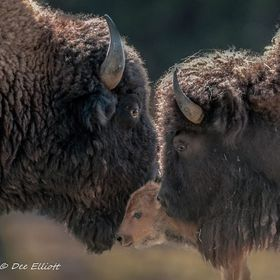 Bison bull and cow with new born calf.