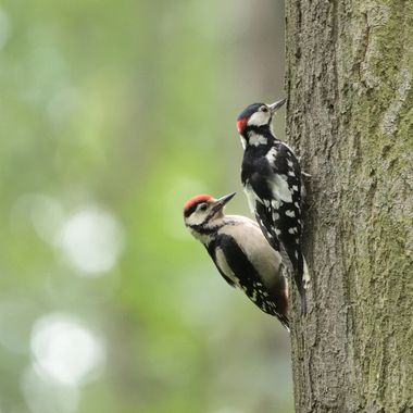 Great spotted woodpecker, juvenile male + and adult  male (Dendrocopos major)