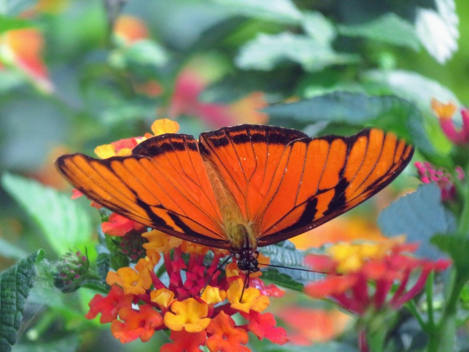 Orange tiger shallowtail butterfly