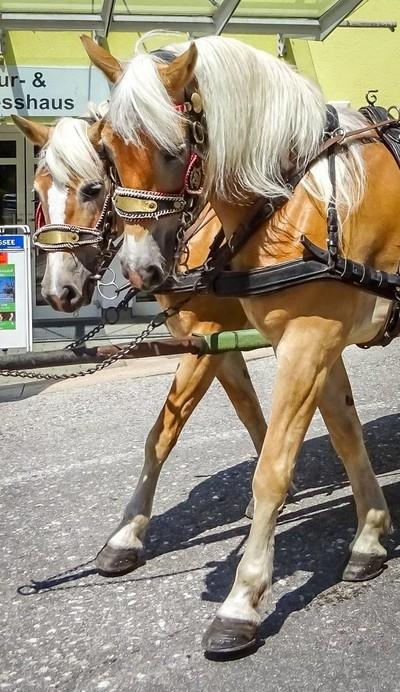 Austria horses