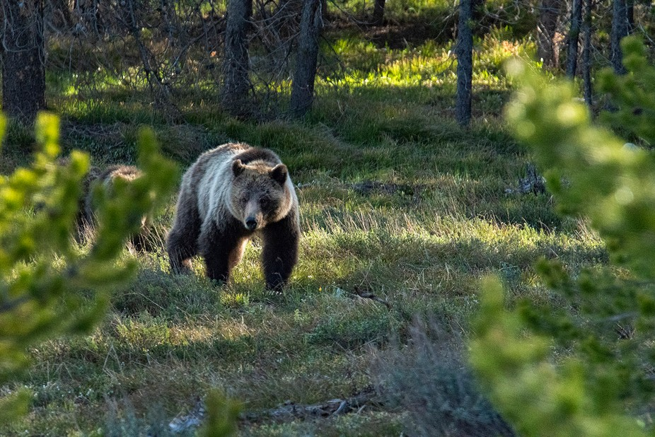 Famous bear in the Grand Teton NP