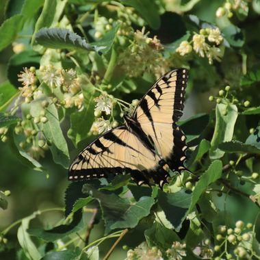 SP-Butterfly-11