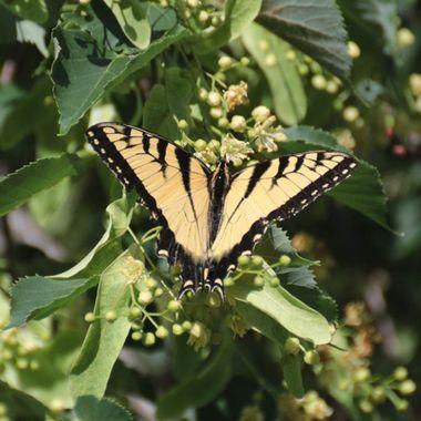 SP-Butterfly-13