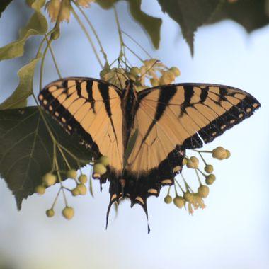 SP-Butterfly-42