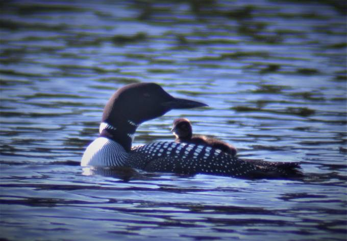 Early morning on Rainy Lake a fairly young baby loon rides it parent's back for protection!