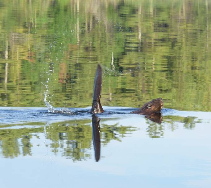 Caught this one the second before it slapped it's tail on the water to scare me away!