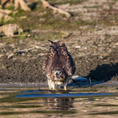 Juvenile Red-Tailed Hawk drinking-4984