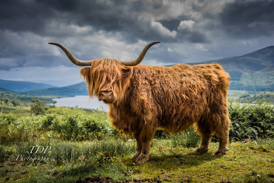 Highland Cow - Loch Arkaig, Scottish Higlands