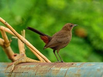 Indian Robin-Female