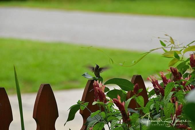 Hummingbird Hovering By Shrimp Plant