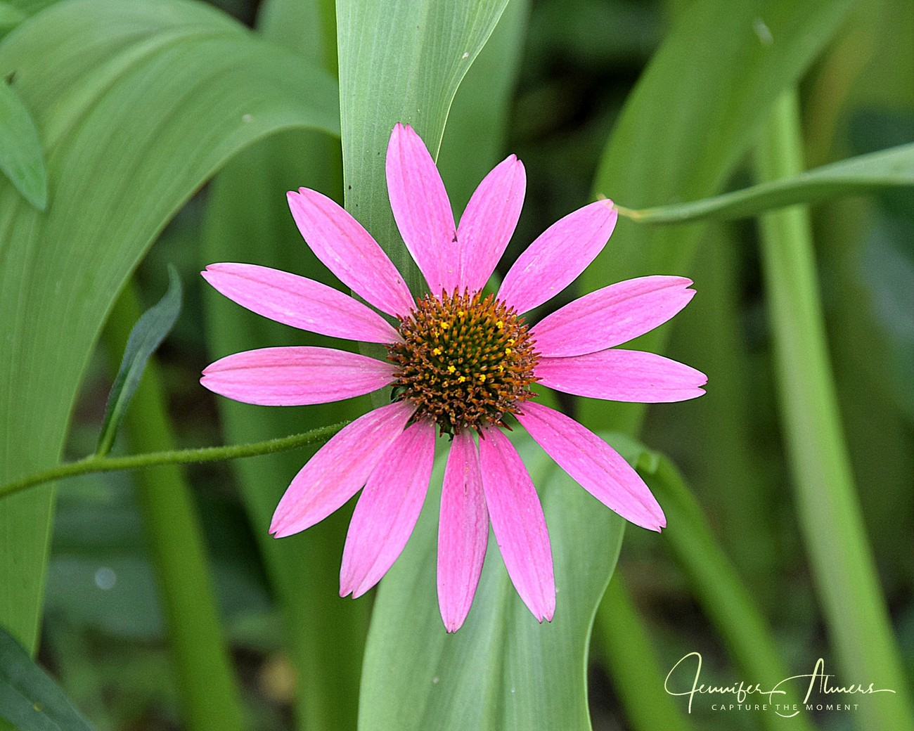 Purplish Coneflower