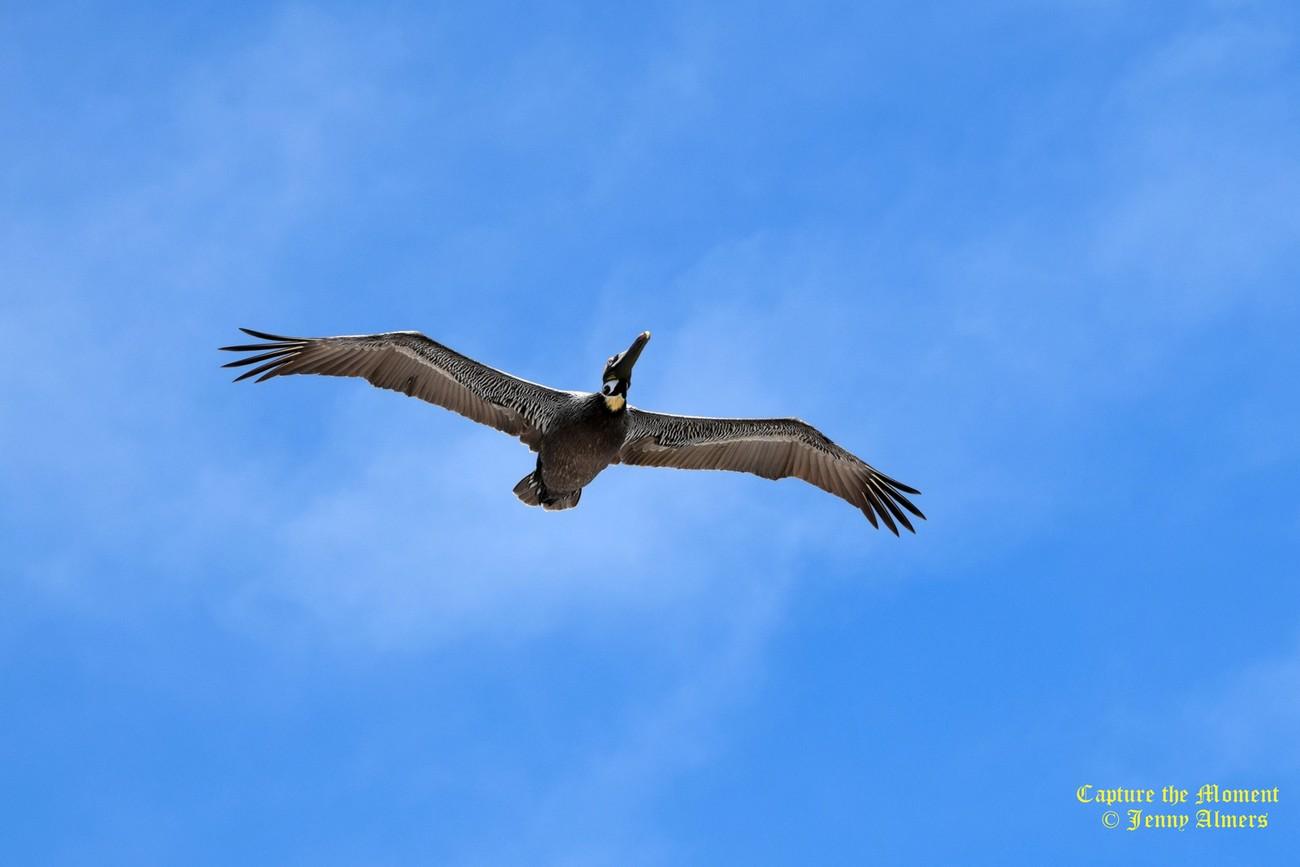 Pelican Over Folly Beach