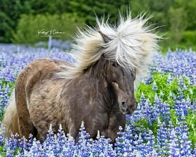 Icelandic Horse in Lupine