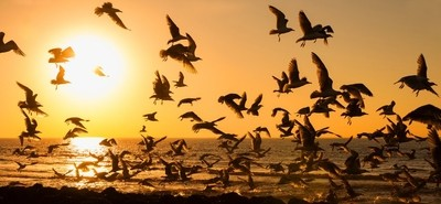 Seagulls Take-off At Sunset