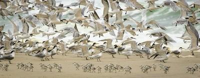 Terns and sanderling