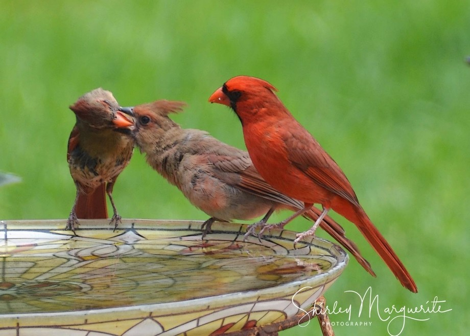 For weeks, I had seen the female Cardinal fly back and forth from my bird feeders to a Magnolia t...