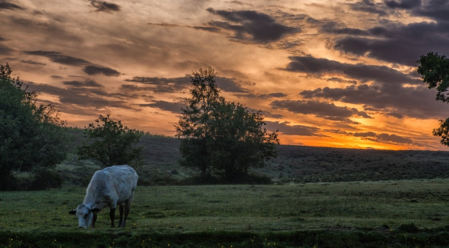 Solitary cow grazing at sunrise in the New Forest.