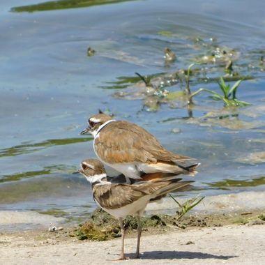 Killdeer doing what they do!