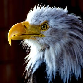 An ancient Bald Eagle, ruffled and wounded but still proudly defiant.  Being transported to an Alaskan wildlife refuge to be treated and hopefull...