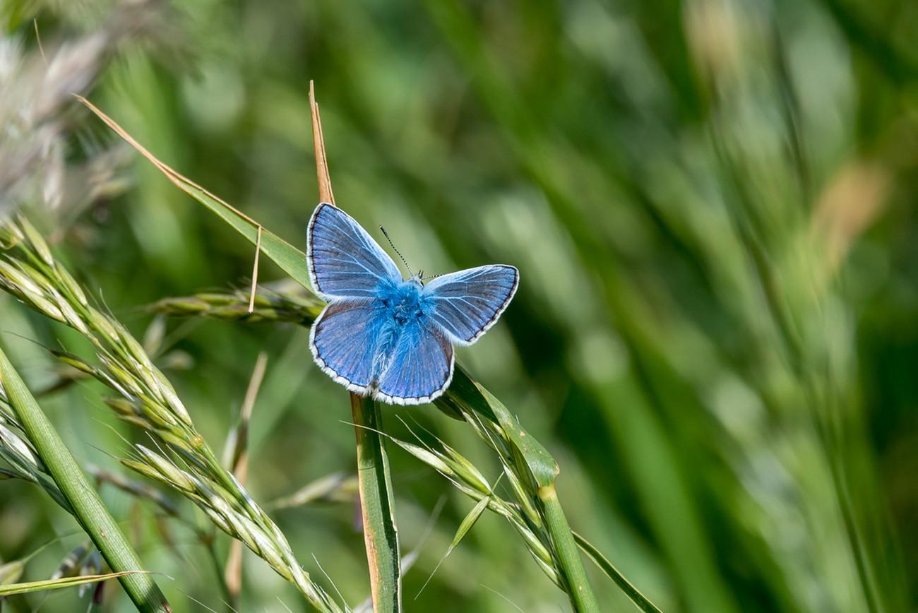 Blue Butterfly 3