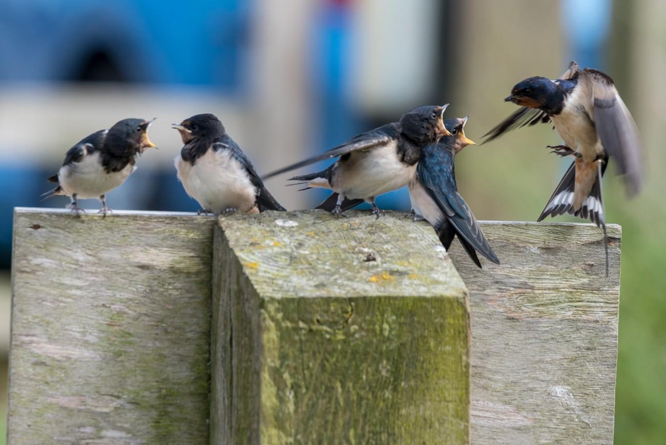 Fledged swallows feeding time