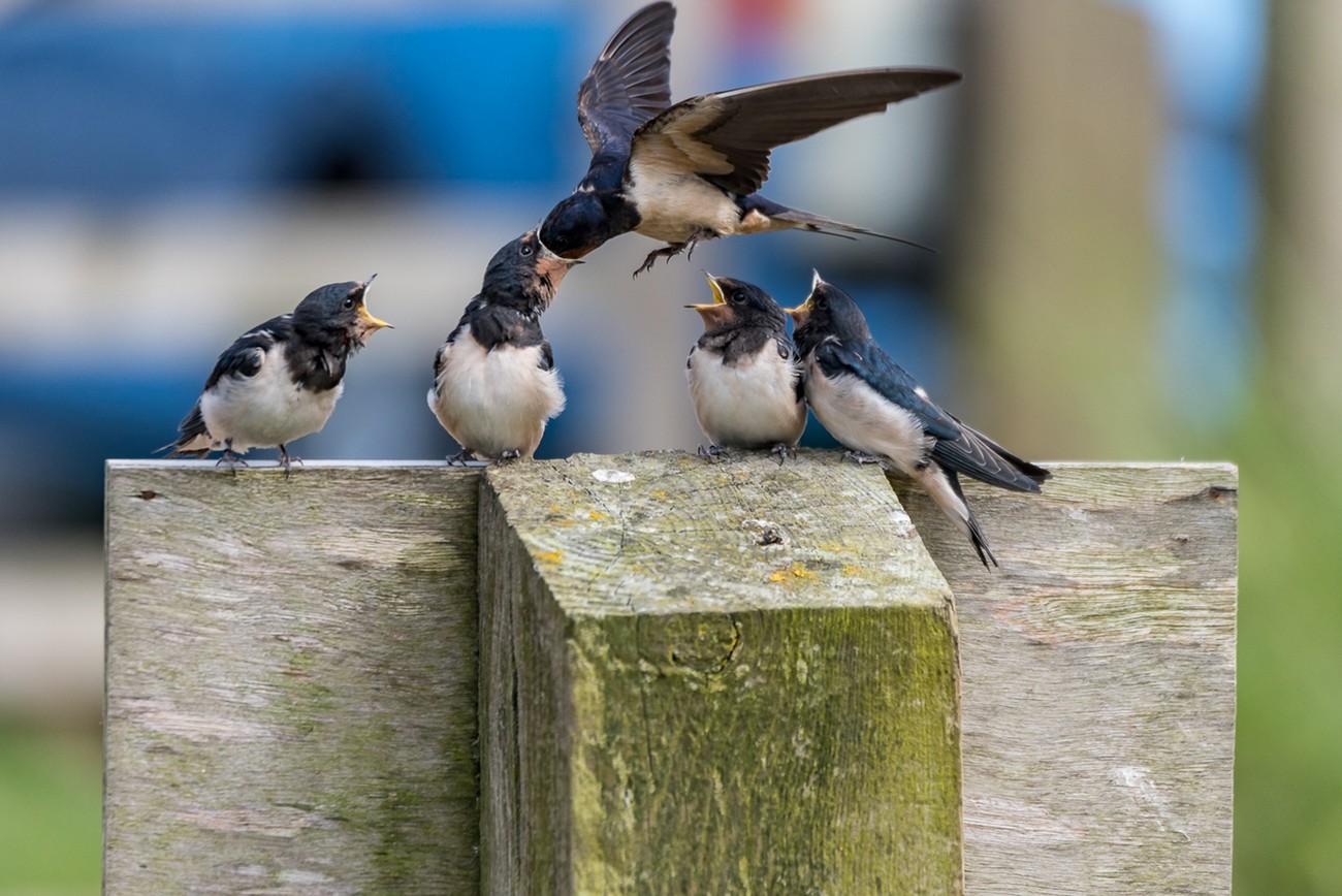 Fledged swallows feeding time 2