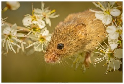 The Harvest Mouse In Portrait