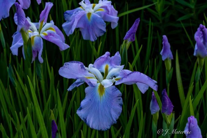 Provincetown's Garden Flowers 11