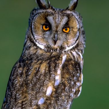 Long-eared_owl