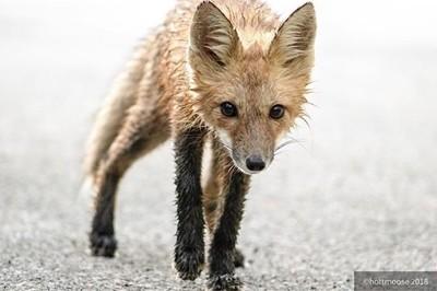 #fox #foxkit #coveredindew #nature #wildlife #iloveher #hottmooseadventures