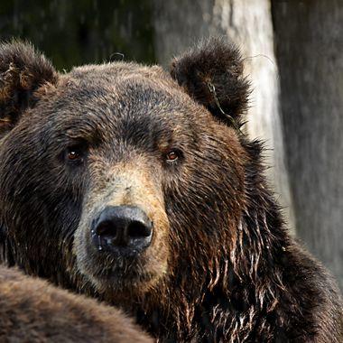Kamchatka Brown Bear - Ursus arctos beringianus