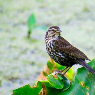 Female Red-Winged Blackbird -  McKee Beschers - Poolesville, MD IMG_3661