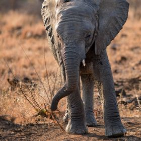 I always love watching young elephant. Not just how they adorably learn how to use their trunks but also, how seemingly every branch serves as a ...