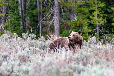 In the Sage brush-female grizzly at Teton National Park