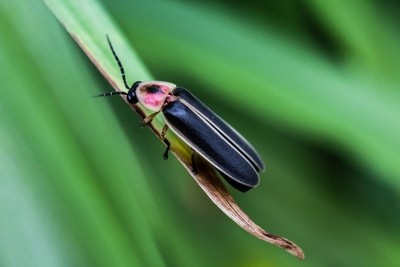lightning bug 2