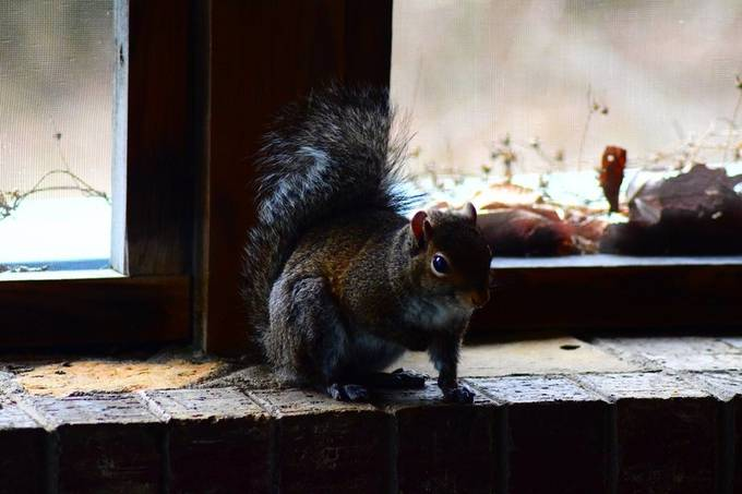 This squirrel steals cat food on a regular basis, and performed very nicely
