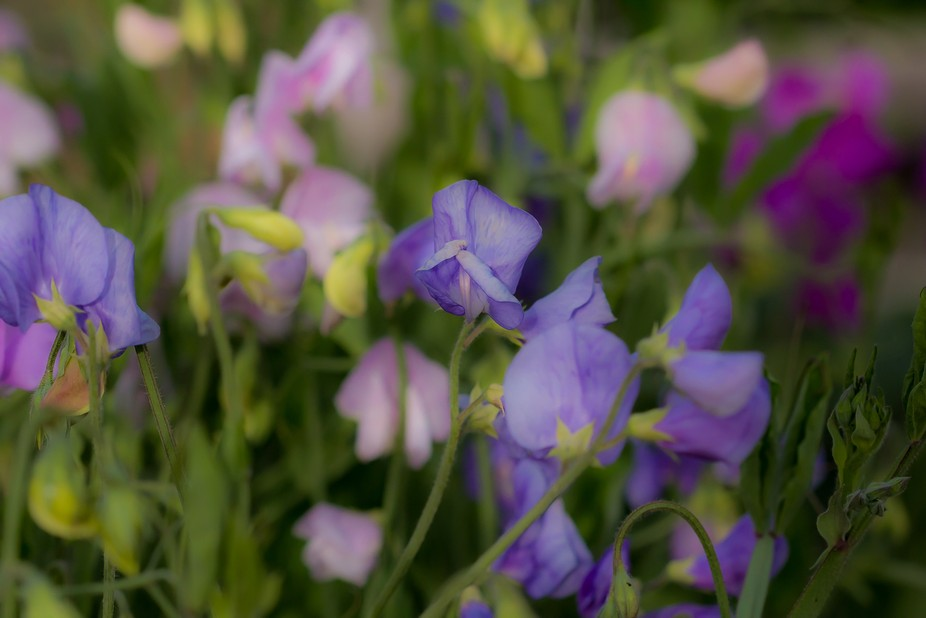 Sweet pea patch