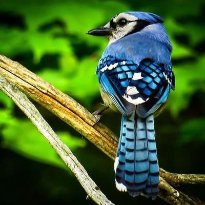 I was asked by Ellen for a Blue Jay image, so I obliged.  #trailsend #bluejay #birding #birdphotography #birdwatching #outthebackdoor #backyardnature #pocket_birds #best_birds_of_world #bird_brilliance #mybirdwatch #elite_worldwide_birds #birds_1st #natur