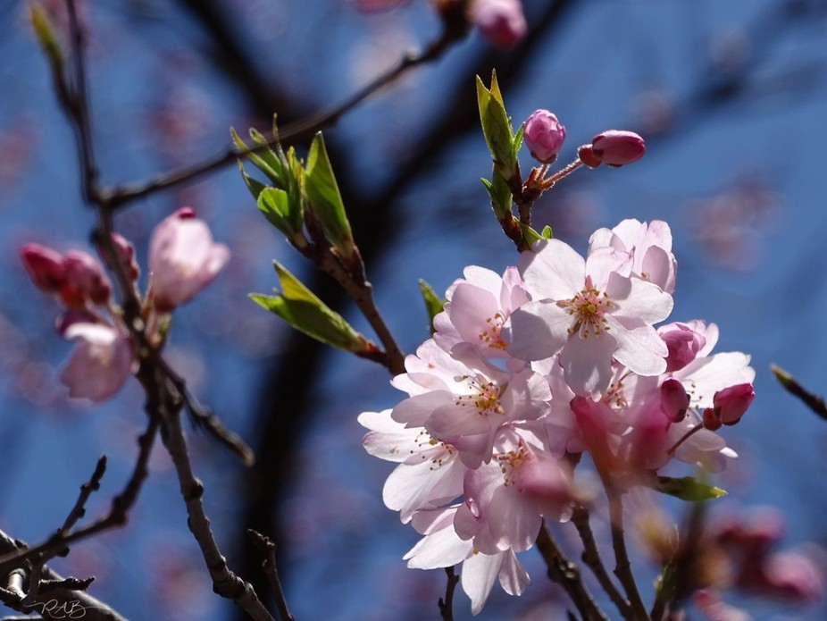 Japan 2018 Sakura season. Study of how to best shoot the Sakura, Depth of Field, lighting, etc.