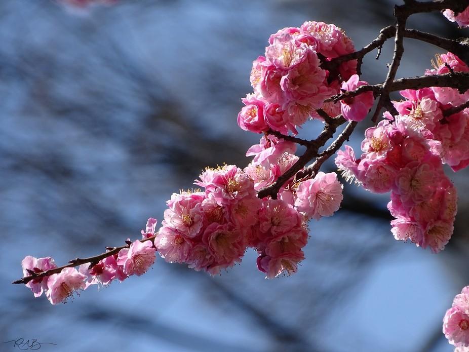 Sakura in Japan 6