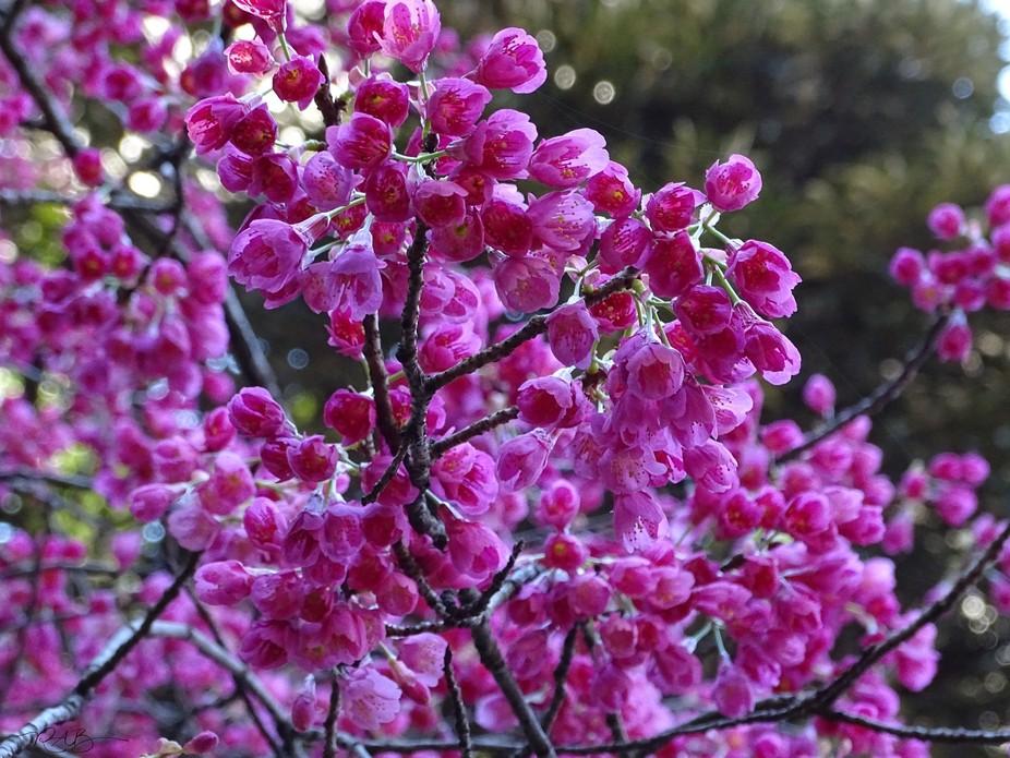 sakura in Japan 7