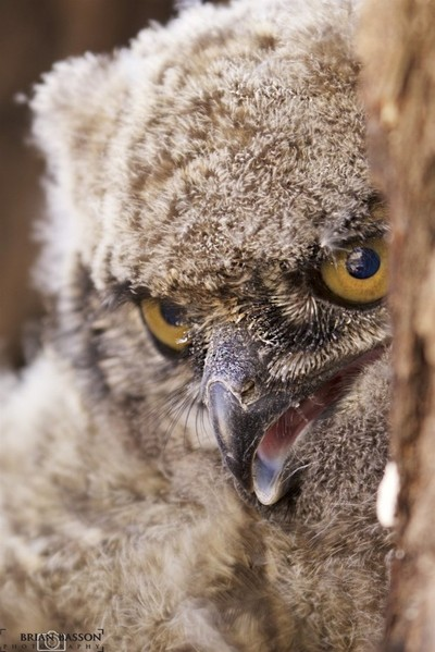 Shy Spotted Eagle Owl Chick © Brian Basson Photography