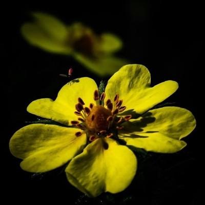 Evening sunshine spotlights Sulpher Cinquefoil.  #trailsend #sulphercinquefoil #eveningsun #wildflowers #macro #wildflowerphotography #macrophotography #wander #outthebackdoor #backyardnature #pocket_flowers #raw_flowers_ #canon_photos #canon_global #natu