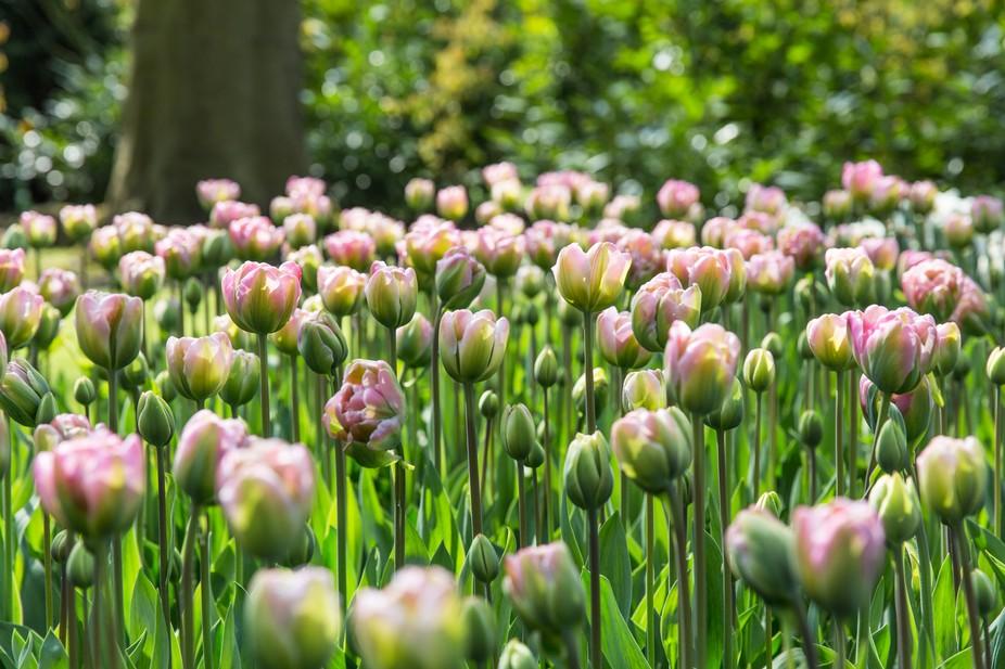 The meadow of pink tulips meadow lit by sunlight in Kaukenhof Gardens