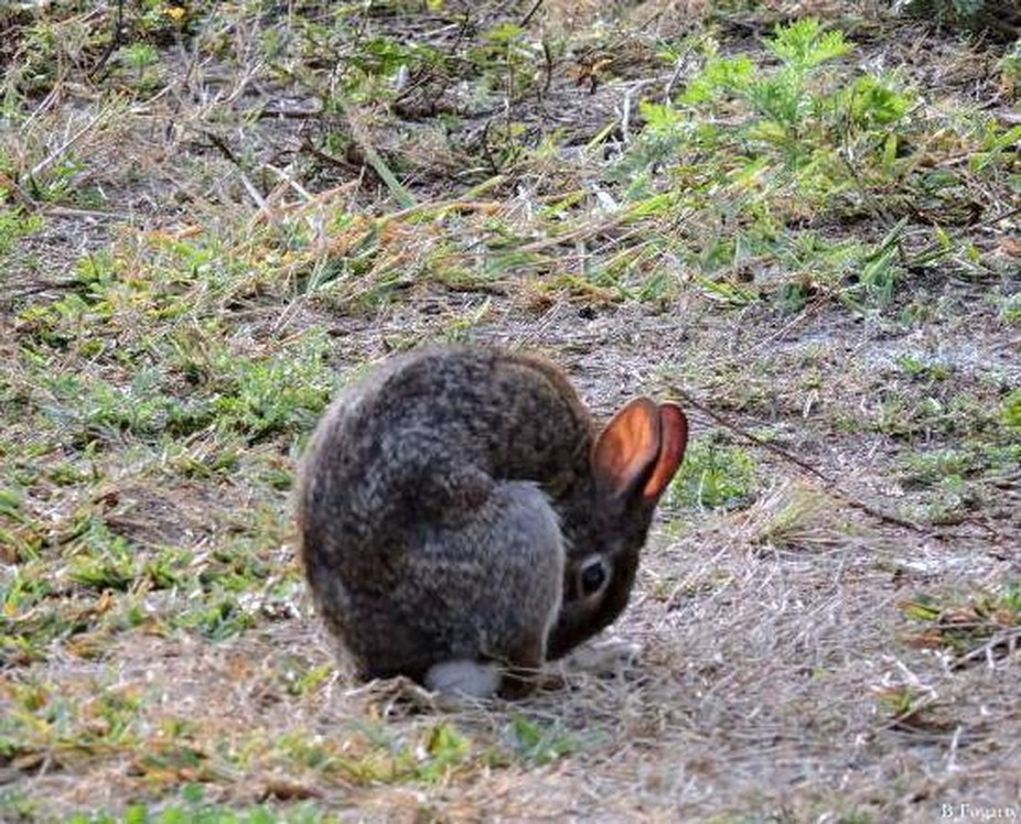Cottontail Rabbit -Are among the 20 Lagpmorph species in the genus Syvlagus;found in the Americas,most cottontail Rabbits closely resemble the wild European rabbit