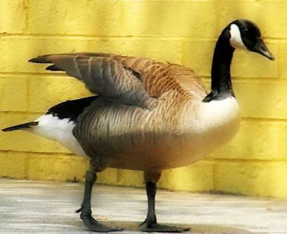 Canada Goose ~Brownish body with black head and long black neck;conspicuous white cheek patch.The smaller Brant lacks the white cheek.I had the pleasure of meeting this feller,outside of a Bowling alley in the state of Georgia.